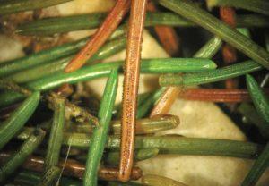 Fig. 3. Closeup of fruiting bodies. Photo by Paul Bachi, UK.