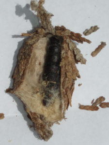 Bagworm filled with eggs