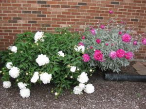 Disease-resistant Annuals and Perennials