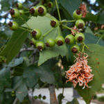 fig 11 rust gall