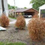Top Arborvitae Aggravations