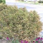Don't Be Bewildered by Brown Boxwood Leaves