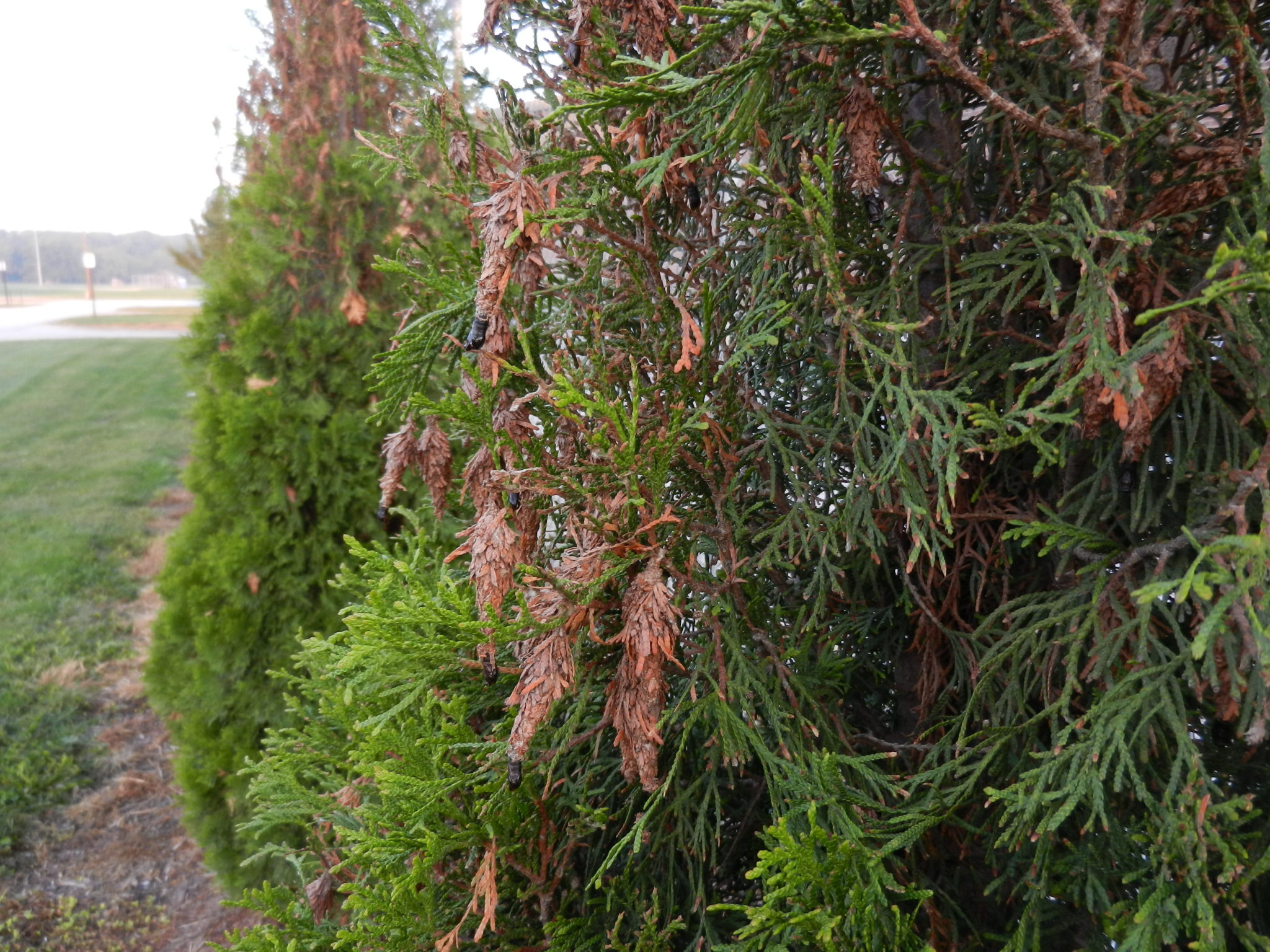 Top Arborvitae Aggravations - Purdue Landscape Report