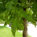Anthracnose of Shade Trees