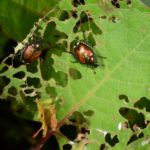 Japanese Beetles on the Horizon