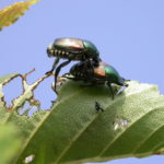 Japanese Beetles Are BAACK