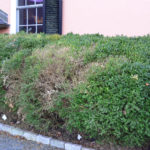 Boxwood Blight – Be on the Look-Out