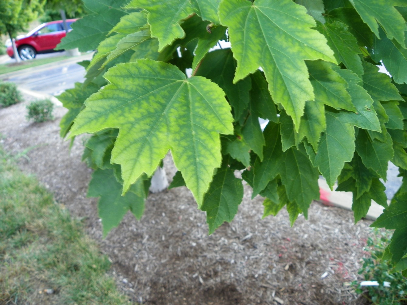 Common Abiotic Problems of Ornamentals: Soil pH Effects on