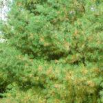 Even Evergreen Needles Don't Last Forever