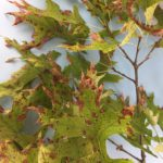 Tubakia Leaf Spot on Oak—A Yearly Event