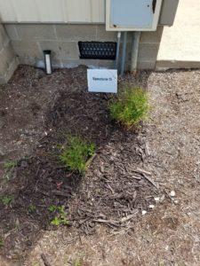 mulch weeds