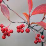 Alternatives to Burning Bush for Fall Color