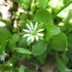 Spotlight on Weeds: Common Chickweed