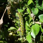Watch for potential new boxwood pest