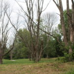 Avoid Deadly Risk of Dying Ash Trees with Timely Tree Removal