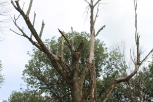 EAB damaged tree