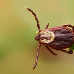 Ticks old and new that threaten the Midwest