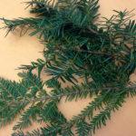 Distinguishing Hemlock from Yew
