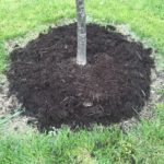 tree with mulch at base