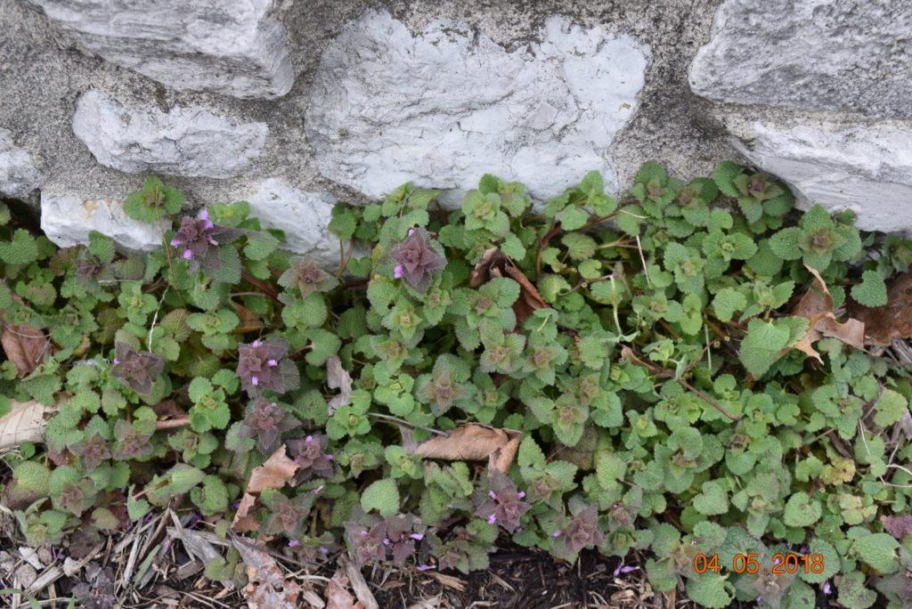 lamium weeds