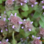 Spotlight on Weeds: Purple deadnettle
