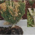 Other Boxwood Issues