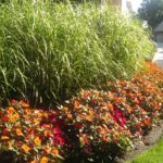 Killing Grasses in 'Grasses'?  How to control grasses in non-grassy ornamental plants