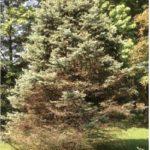 Needlecast in Colorado Blue Spruce
