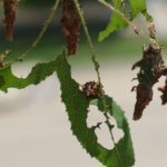 Bagworms feed on leaf tissue between the veins of maple trees and cover themselves with bits of leaves.