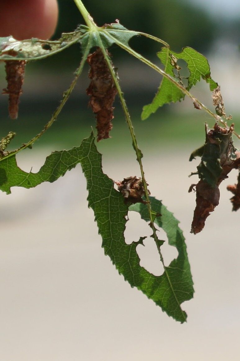 Bagworms May Still Threaten both Deciduous and Evergreen