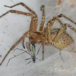 image B. It shows a close up of a yellow-brown spider holding a small fly in its mouth by the wings. The spider is standing on a thick white web.