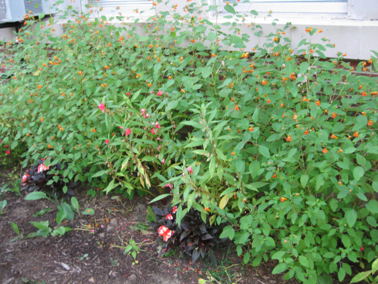 Figure 4. Different impatiens are resistant to the downy mildew pathogen. Note the very susceptible I. walleriana in the foreground, the less susceptible I. balsamina and more resistant 'Sunpatiens' and wild touch-me-nots (I. capensis). Photo by Janna Beckerman.