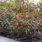 Red fruits of winterberry deciduous holly. Photo Credit: Purdue Arboretum