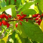 Red fruits of spicebush Photo Credit: Purdue Arboretum