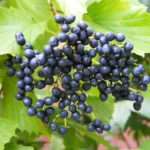 Bluish black fruits of arrowwood viburnum. Photo Credit: Purdue Arboretum