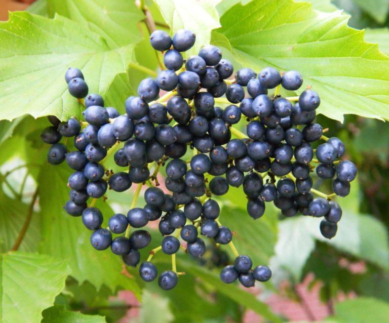 Bluish black fruits of arrowwood viburnum. Photo Credit: Purdue Arboretum