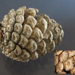 Spore bearing structures (black dots) of Diplodia on pine cone scales.