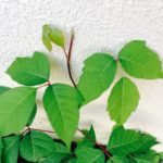 Poison ivy has a compound leaf made of three leaflets. The top leaflet has a long stalk.