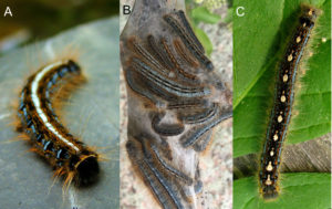 The image shows three caterpillars. A. Eastern tent caterpillar have a distinctive white stripe down their backs, B. western tent caterpillar are slate blue with a pair of black stripes, and C. forest tent caterpillar have a pattern of dots on the back that resemble penguins or bowling pins.