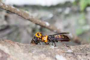 Two Asian giant hornets touching antenna on a tree trunk.
