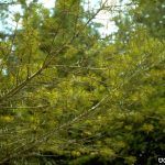 Douglas-Fir branches with bare spots