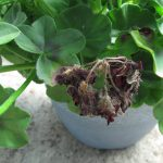 Geranium with botrytis blight