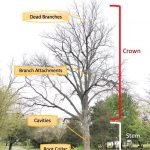 Regular tree inspections should occur reviewing all parts of the tree.