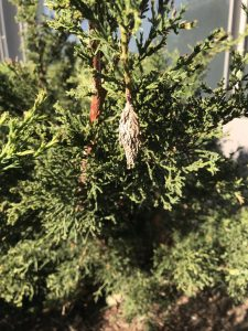 Brown bagworm bag on green leaved juniper