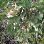 Leaf Scorch on Lilac