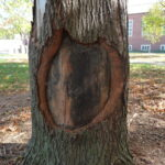 Tree trunk damaged by construction equipment developing wound wood around the edges to eventually seal the wound.