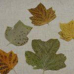 leaf spotting