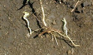 Canada thistle shoots