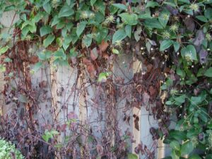 This year, many clematis across the state were infected with Ascochyta blight.
