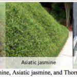 multiple jasmine